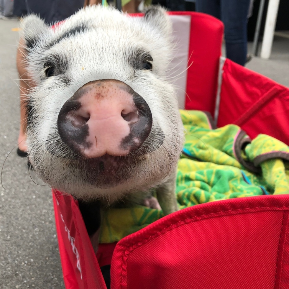 funny blogs – a girl & her pig